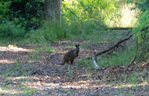 Paddymelon? Small wallaby